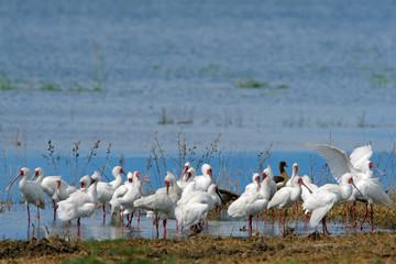 African spoonbills, Chobe National Park