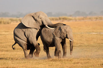Mating African elephants, Amboseli National Park