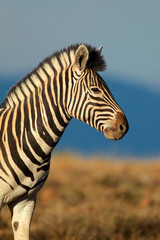 Plains or Burchells Zebra portrait