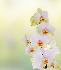 Beautiful flowers Japanese Orchid.Beauty.Flora