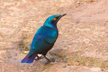 Bronze-Tailed Glossy Starling (Lamprotornis chalcurus)