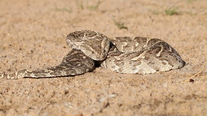 Puff adder in defensive position with flicking tongue