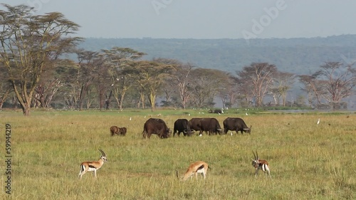 African buffaloes and Thomsons gazelle in grassland
