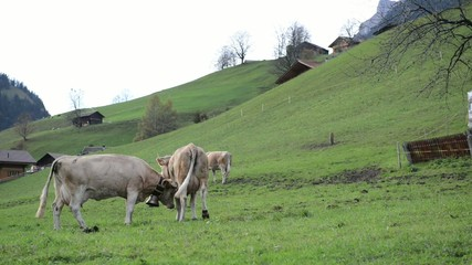 milky cows grazing in swiss mountain pasture