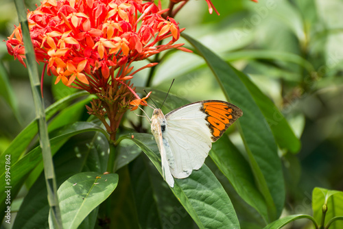 Great Orange Tip butterfly on Ixora flowers