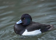 Tufted duck, Aythya fuligula, single male on water