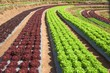Vegetables field , Royal project in Thailand