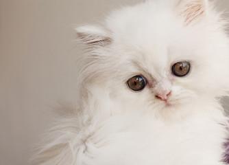 Sad Persian kitten
