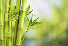 bambou fraîches