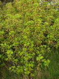 Bush of blossoming red currant (Ribes rubrum L. )