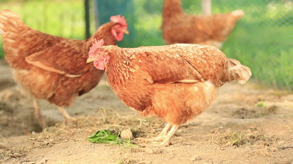 Free Range Hens in a farmyard