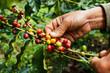 Leinwanddruck Bild - Picking coffee
