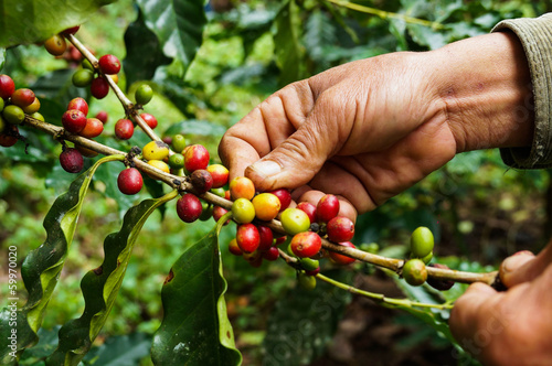 Tuinposter Bomen Picking coffee