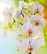 canvas print picture - Beautiful flowers Japanese Orchid.Beauty.Flora