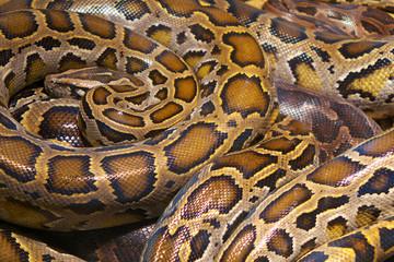 wild python