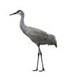 Sandhill Crane Bird