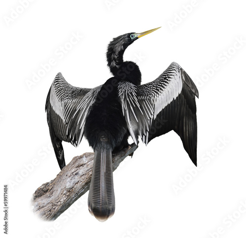 Anhinga (Anhinga Anhinga) Bird