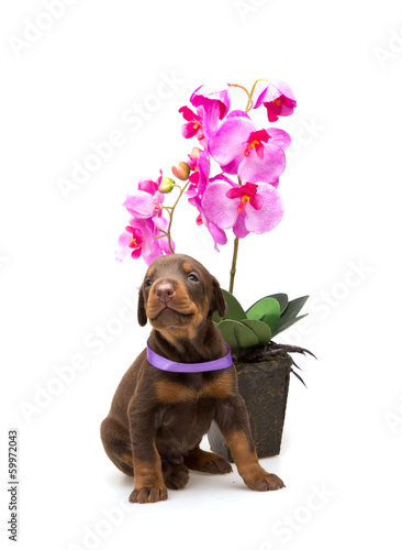 Doberman puppy with violet flower, isolated