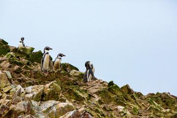 South American penguins coast at Paracas