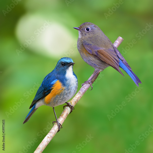 Himalayan Bluetail bird