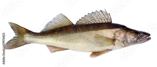 European walleye fish isolated on white background