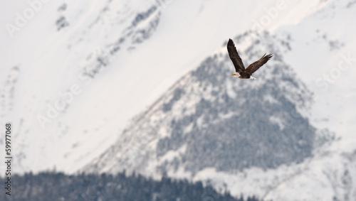 Flying bald eagle - 59977068
