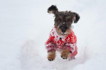Bassotto sulla neve
