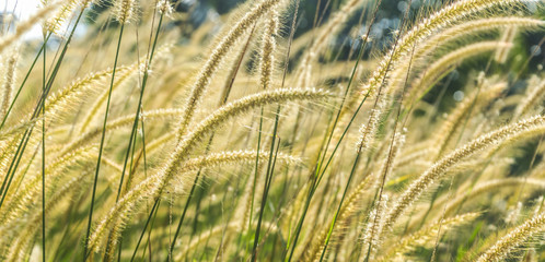Wild grass with morning sun ray and bokeh background © mawardibahar