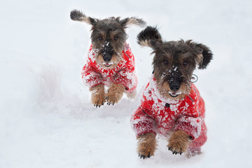 Bassotti di corsa sulla neve