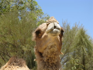 A portrait of a camel with a facial expression