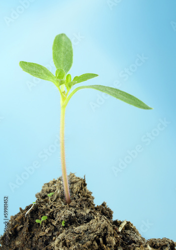 Tomato seedling with selective focus against blue sky