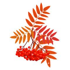 Branch red ash