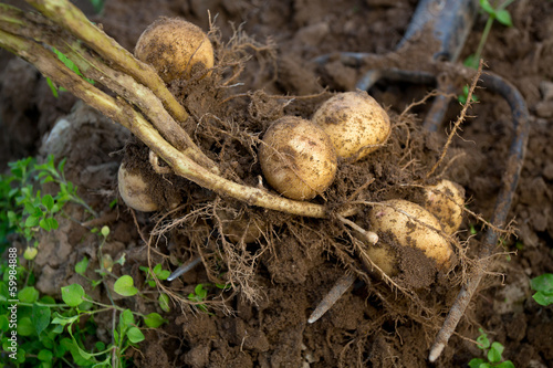 dug out potatoes