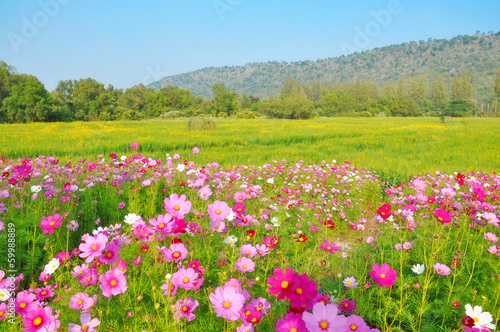 Cosmos flower and crotalaria field