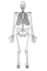 cartoon image of homo erectus