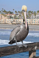 Pelican in Oceanside, California