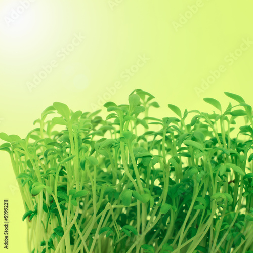 Fresh sprouts of garden cress
