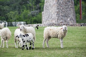 Herd of sheep walking on grass