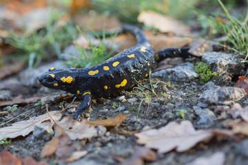 Yellow-black Fire Salamander