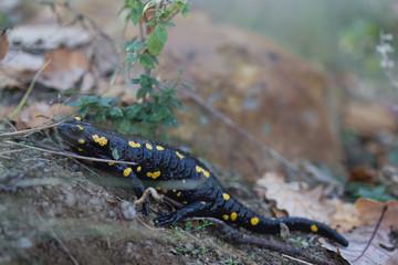 Crawling Fire Salamander
