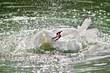 Постер, плакат: Белый лебедь машет крыльями в воде Летят брызги