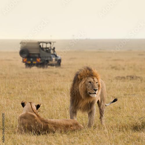 Staande foto Leeuw African lion couple and safari jeep