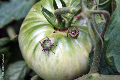 Cimice verde - coppia di cimici del pomodoro