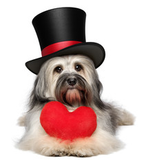 Lover valentine Havanese dog with a red heart and black top hat