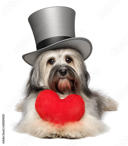 Lover valentine Havanese dog with a red heart and gray top hat