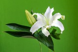 White lilly,green background.