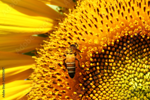 honey bee collects  pollen nectar from sunflower