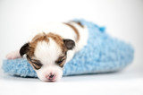tiny  Chihuahua baby sleeping in blue slipper close-up on white