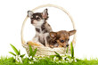 Chihuahua puppies. lovely puppy s.  portrait of puppies in a bas