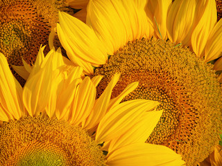 sunflowers macro